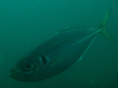 Japanese horse mackerel () #619 (Nemo's great uncle) Tags: horse geotagged mackerel underwater sealife izu japonicus      westizu osezaki  shizuokaprefecture    japanesehorsemackerel trachurusjaponicus trachurus geo:lon=138786657 geo:lat=35024092