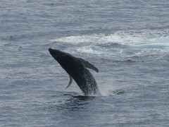 Humpback whale breaching off Papawai Point (cropped)