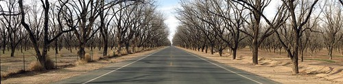 Pecan groves near San Miguel, New Mexico, USA