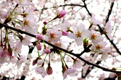 Cherry Blossoms at Chidorigafuchi, Tokyo Japan (_takau99) Tags: trip travel pink flowers vacation holiday flower color macro cute beautiful topv111 japan cherry lumix tokyo march spring colorful blossom blossoms panasonic cherryblossom  sakura cherryblossoms   2008 chiyodaku kudanshita chidorigafuchi  fx30  takau99   dmcfx30 chidorigafuchiryokudou
