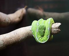 Green tree boa