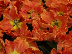 Mother nature's work (HP-TEACHER) Tags: flowers red holland spring tulips thenetherlands picturesque keukenhof tulpen naturesfinest fantasticflower anawesomeshot incrediblenature hpteacher