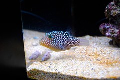 fish coral aquarium hawaii tank spot tropical honolulu puffer reef