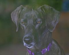 Squirrel Watcher (Peggy Collins) Tags: portrait dog pet greyhound beach animal interestingness costarica explore stray osa betterthangood peggycollins