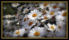 Daisies (bonksie61) Tags: orange white daisies smörgåsbord naturesfinest digitalcameraclub supershot avision almostanything wonderfulworldofflowers peachofashot