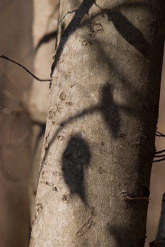 Beech tree trunk  with shadow