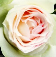 Roos4 (Gert *1957*) Tags: flower holland haarlem nature rose canon rebel spring kiss nederland picasa natuur roos lente schalkwijk bloem molenwijk theworldinpink