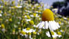 Alone (A.T.E.F.E.H) Tags: white flower yellow garden alone iran ایران esfahan isfahan بهار اصفهان باغ گل تنها زرد گلها پیر باغگلها سفید عاطفه ماکرو اردیبهشت شهشهانی سوپرماکرو پژمرده