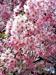life in pink....beautiful!! (~.liz.~) Tags: pink flower japan cherry flor rosa cherryblossom osaka cherrytree hanami cerezo