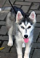 Blue n brown (Mangiwau) Tags: blue hairy dog pet brown eye tongue alaska sarah puppy eyes husky wolf chocolate canine jakarta doggy pup huskey mata dodgy mofo biru alaskan palin coklat anjing hanky hengky palins tangerang henky