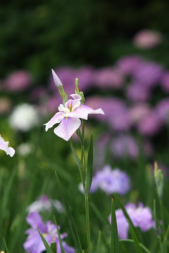 Iris by TAKUMAR