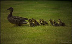 Mammy are we there yet ?!?!?! Marching ducks (janusz l) Tags: janusz leszczynski geo:lat=49167549 geo:lon=122986944 geotagged ducks duck ducklings mammy mama march richmond canon70200f28 lenscraft cute adorable goldstaraward easter