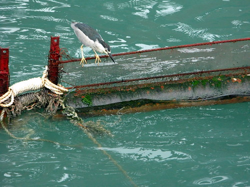A bird competing with human progress in Hong Kong