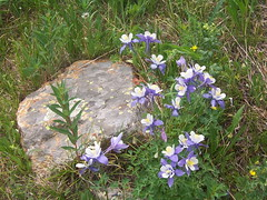 Columbines (mtncanyon) Tags: lake mountains creek colorado eagle indian peak trail crater lone wilderness peaks cascade