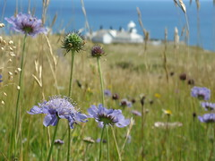Small Scabious Above the Lighthouse