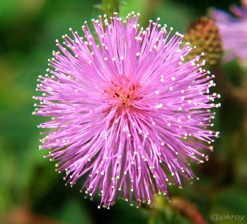 Mimosa (pudica) - 1