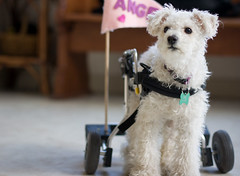 Wheelchair Dog! (tappit_01) Tags: dog dogs wheelchair canine poodle paralyzed maxfund impressedbeauty canon14