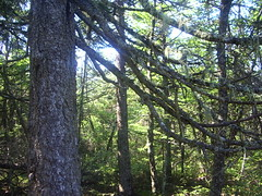 Fresh Air (NotAHologram) Tags: trees sunlight canada forest moss novascotia branches bark