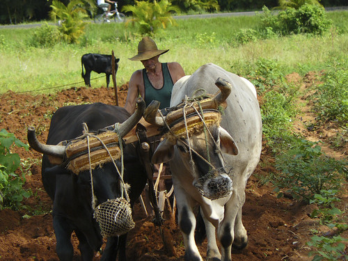 Plowing the fields in Vinales