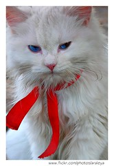 No Moods (Araleya) Tags: pet white cute home beautiful animal cat thailand pretty princess blueeyes kitty lovely redbow facialexpression nonthaburi whitefur beautfiul araleya animalfeeling chaoying nothaburi blueeyecat theperfectphotographer perciacat