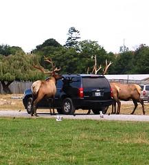 hungry elk2