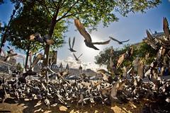 piper, piper (mikarokee) Tags: paris pigeons fisheye 40d flickrchallengegroup flickrchallengewinner