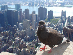 One-Legged Pigeon (ZeroOne) Tags: city nyc newyorkcity urban newyork bird animal cityscape manhattan pigeon esb eastriver empirestatebuilding dscv1