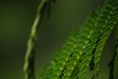 Green Bokeh (recaptured) Tags: green leaves bokeh greenpeace foliage tele recaptured 55200mm teletom sooc instantfav bokehlicious d40x bokehwhores amitsharma recapturedin
