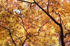 Manchurian maple sky (Lalallallala) Tags: autumn tree leaves finland helsinki colorful botanicalgarden kaisaniemi autumncolor ruska kaisaniemibotanicalgarden top20trees top20autumn autumn2008 mantsurianvaahtera acermandshuricum manchurianmaple