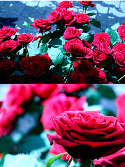 a 7 i b a h (Weda3eah*) Tags: pictures flowers bon red rose by you p tow koln ilove a weda3eah