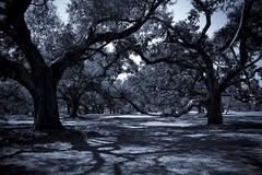 (New Orleans Lady) Tags: copyright tree oak all c  images jordan h rights copy reserved allrightsreserved ntt oaktrees district5 citypark alysha orleansparish nhp neworleanslouisiana b8k 20032013 allimages20032013alyshahjordan