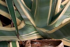 u civu (vincenzo martorana) Tags: agave capozafferano zabara