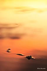 Gator in Gold (Paul Marcellini) Tags: county sunset reflection florida everglades evergladesnationalpark southflorida miamidade karmanominated paulmarcellini