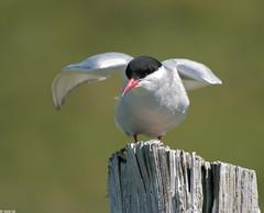 Kra - Arctic Tern - Sterna paradisaea (Sigurjn Einarsson) Tags: kra arctictern flatey sternaparadisaea breiafjrur