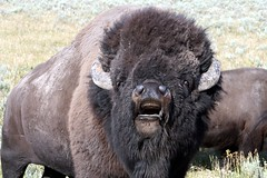 American Bison (Bison bison) in Rut IMG_3215 (NDomer73) Tags: mammal august yellowstonenationalpark yellowstone bison 2008 americanbison bylin 15august2008