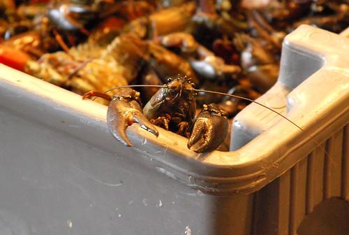Crayfish on the lam