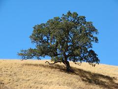 Sunol Regional Wilderness (vincezammit) Tags: california tree hiking bayarea sunol eastbayregionalparkdistrict diablorange treesubject