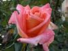 Dopo la pioggia... (mclinus) Tags: flower rain rosa pioggia abigfave outstandingshot anawesomeshot colorphotoaward impressedbeauty colourartaward damniwishidtakenthat mclinus