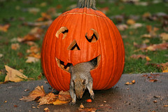 Projectile Varmint (shesnuckinfuts) Tags: autumn halloween nature animal pumpkin backyard jackolantern kentwa squirrle mywinners abigfave shesnuckinfuts lmaoanimalphotoaward october2008