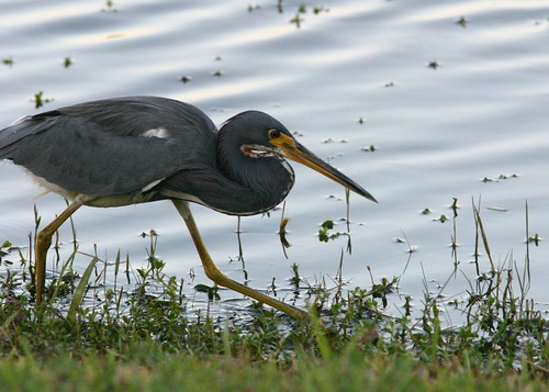 Tricolored Heron Stalking 20081105