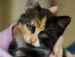 Mia The Kitten (Daniel Hodson) Tags: uk portrait baby cute dan cat canon 50mm kitten soft unitedkingdom d daniel aib peter 350 mia cuddly canon350d staffordshire canoneos350d freelance hodson stretton visualcommunication hoddo artsinstitutebournemouth danielpeterhodson danielhodson theartsinstitutebournemouth dhodson wwwdanielhodsoncouk httpwwwdanielhodsoncouk