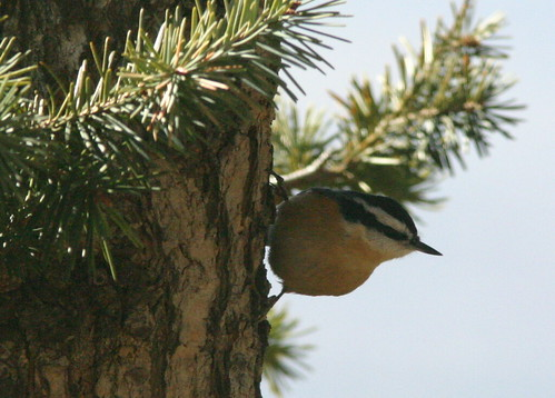 Red-breasted Nuthatch 20081114
