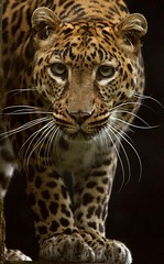 Eye Contact (charlotte.morse) Tags: animal cat zoo leopard linton platinumheartaward winnr