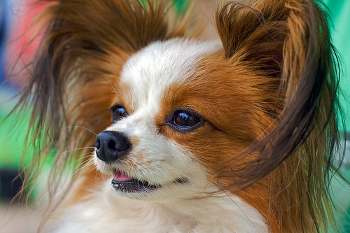Chip the Papillion