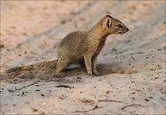 Yellow Mongoose (AnyMotion) Tags: africa travel nature animal animals tiere reisen wildlife afrika botswana 2008 yellowmongoose cynictispenicillata anymotion fuchsmanguste mankwebushlodge brillianteyejewel