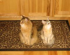 Horse & Graciecakes (Jagerbunny) Tags: cats somali catnipaddicts