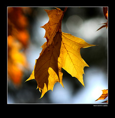 Golden Leaves (West County Camera) Tags: goldenleaves beautysecret thegalaxy imagepoetry flickrestrellas multimegashot quarzoespecial qualitypixels capturethefinest platinumbestshot redmatrix doubleniceshot naturesgreenpeace tripleniceshot mygearandmepremium mygearandmebronze mygearandmesilver mygearandmegold mygearandmeplatinum mygearandmediamond allnaturesparadise rememberthatmomentlevel4 rememberthatmomentlevel1 rememberthatmomentlevel2 rememberthatmomentlevel3 rememberthatmomentlevel7 rememberthatmomentlevel9 rememberthatmomentlevel5 rememberthatmomentlevel6 rememberthatmomentlevel8 rememberthatmomentlevel10