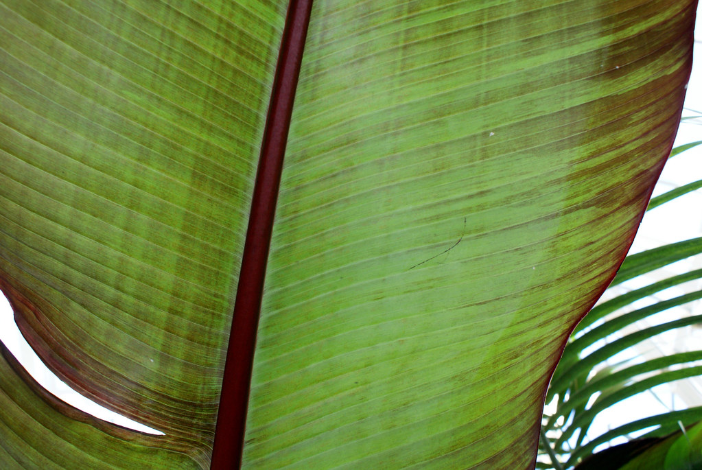 towerhill large leaf
