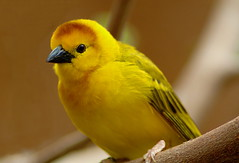 Another African Weaver Bird photo. (Brian Callahan (Luxgnos.com)) Tags: bird birds yellow weaver birdwatcher mywinners briancallahan africanweaver shinsanbc luxgnosphotography luxgnosis wwwluxgnoscom