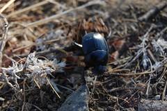 Dung Beetle (Sean Hawkridge) Tags: atlasmountains dungbeetle